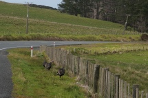 Turkeys on the side of the road