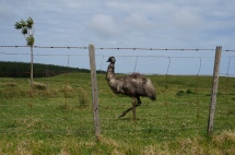 An emu on the drive north