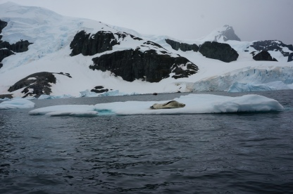 A seal on the way to Cuverville Island