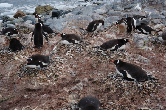 Penguins nesting at Waterboat Point