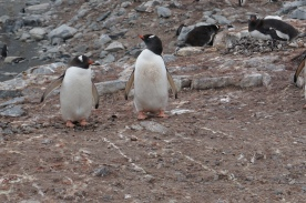 Penguins at the Chilean station